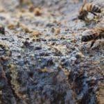 زنبور عسل بره موم